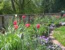 Gräseraustrieb und späte Tulpen