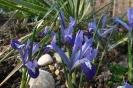 Frühlingserwachen: Iris reticulata