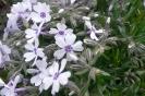 Blaues Herz: Phlox subulata 'Bavaria'