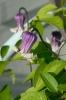 Zauberhafte Glöckchen: Clematis pitcheri