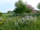 Ausblick über Blumenwiese mit Praerielilien