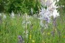 Prärielilien in der Blumenwiese