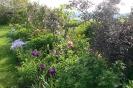 Iris und Pfingstrosen vor dunkellaubigem Holunder