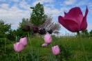 Rosa im Rosenbeet mit Judasbaum im Hintergrund
