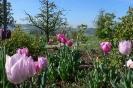 'Durch die Tulpe'