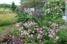 Rosen mit Sterndolde und Storchenschnabel als Begleiter
