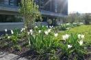 Frühlingsaspekt mit lilienblütigen Tulpen
