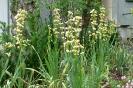 Lange attraktiv: Binsenlilien